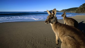 Australia Beach Wallpapers with Kangaroos