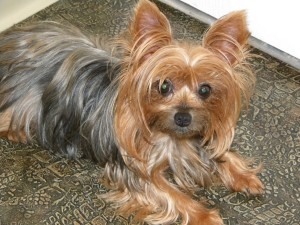 Yorkshire Terrier Wallpapers (10 Photos)