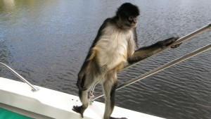 Spider Monkey Wallpapers