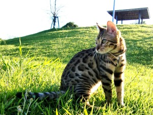 Bengal Cat Wallpapers, Photos in HD free Download